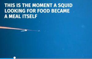 Calamaro gigante è cannibale: ecco come si nutre di un suo simile