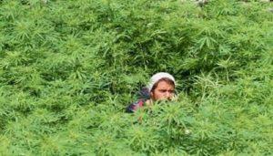 Coltiva cannabis e viene arrestato: era per curarsi, gli riconoscono i domiciliari