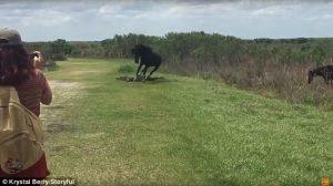 Cavallo attacca alligatore in Florida