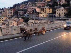 Cinghiali in fuga sul lungomare di Genova, emergenza a Roma... Che fare?