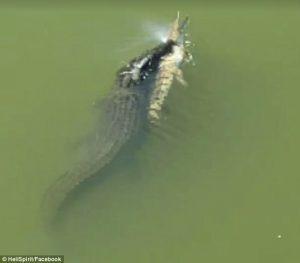 Coccodrillo cannibale nuota con un altro coccodrillo in bocca