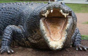 La vendetta del coccodrillo: si mangia il capo dei bracconieri Scott Van Zyl
