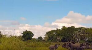 Coccodrillo azzanna la proboscide del baby elefante che sta bevendo