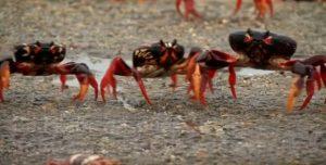 Migliaia di granchi invadono la Baia dei Porci a Cuba