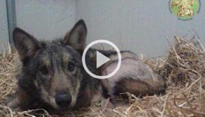 Connor, il lupo ferito torna libero dopo la riabilitazione VIDEO