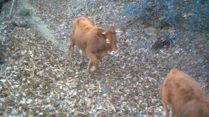 Mucche ribelli in Liguria: scappate nel 2011 dal mattatoio, ci fanno un film