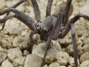 Ragno gigante velenoso scoperto nelle grotte del Messico