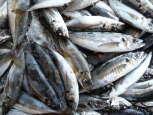 Sestri Levante, pesca da record: sardina da mezzo metro