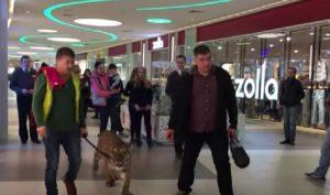 YOUTUBE Russia: tigre al guinzaglio nel centro commerciale