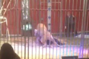 YOUTUBE Leone al circo attacca il domatore alla gola davanti ai bambini