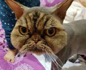 Fa tosare il suo gatto persiano da un amico. Ed ecco come lo ritrova FOTO