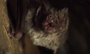 YOUTUBE Pipistrelli vampiro, è allarme attacchi: morto un uomo in Brasile