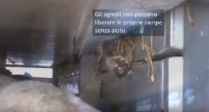 Agnelli in viaggio dalla Polonia ai macelli italiani