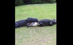 YOUTUBE Lotta tra alligatori nel campo da golf: la battaglia è all'ultimo sangue