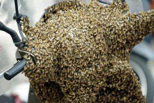 Milano, allarme api: al parco Portello uno sciame di due metri su un albero