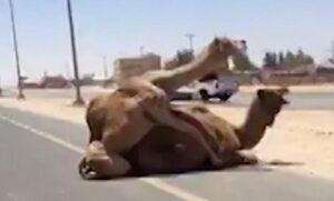 Due cammelli si accoppiano in strada a Dubai: automobilista riprende la scena
