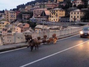 Cinghiale in centro a Genova: abbattuto dalla polizia regionale