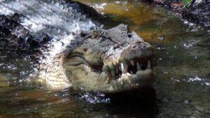 Sacerdote vuole camminare sull'acqua come Gesù: sbranato dai coccodrilli