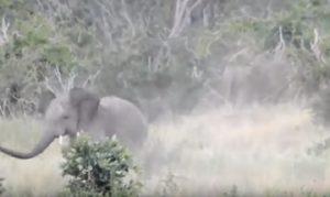 Elefanti scappano da sciame di api
