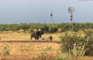Baby bufalo caccia via un elefante: le dimensioni non contano