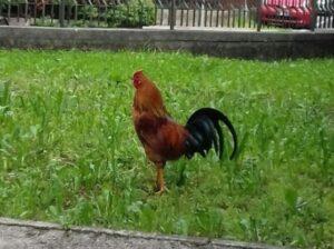 Gallo adottato dal quartiere a Montebelluna: ecco Guido, mascotte di Posmon