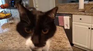 """YOUTUBE Jack, il gatto dal """"miao"""" profondo: ecco perché è così particolare"""