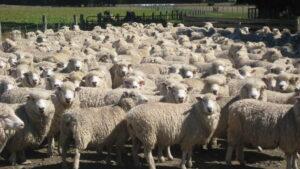 Gregge pecore imbratta di sterco Schio (Vicenza): 400 euro di multa al pastore