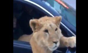 Cecenia: un leone viaggia in auto sul sedile del passeggero