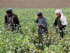Una coltivazione d' oppio