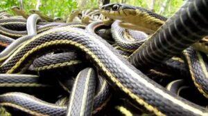 YOUTUBE Orgia di serpenti più grande del mondo: fanno il trenino