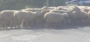 Roma, pecore sulla Cristoforo Colombo. E flash mob contro i nuovi limiti