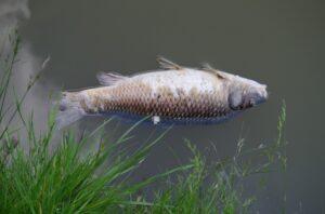 Sabaudia, moria di pesci nel canale romano: ancora ignote le cause