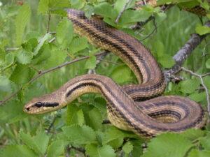Grosseto, serpenti nelle fioriere di un palazzo