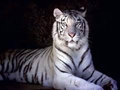 Una tigre bianca