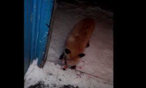YOUTUBE La volpe zombie affamata e arrabbiata che cerca di entrare dalla porta di casa
