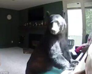 YOUTUBE Grizzly entra in casa e suona il pianoforte