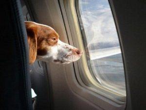 Cane da supporto sull'aereo: passeggera morsa al volto