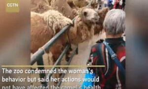 YOUTUBE Strappa pelo al cammello e lo nasconde nella borsa