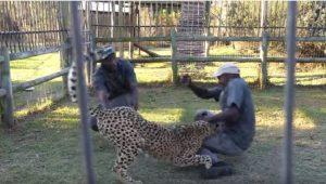 Sudafrica, ghepardo azzanna due guardiani del parco davanti ai visitatori