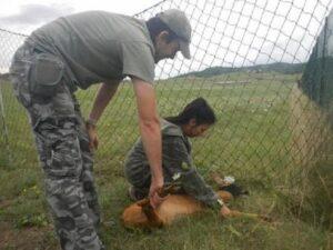 Igor, catturato il capriolo più ricercato di Italia: scappava nella zona di Norbert Feher
