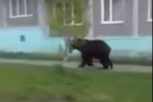 Orso bruno in fuga per la città: VIDEO ripreso da un'auto