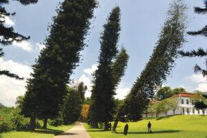 Pino di Cook, il mistero dell'albero inclinato verso l'equatore FOTO