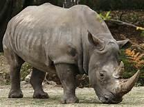 Un rinoceronte di Sumatra